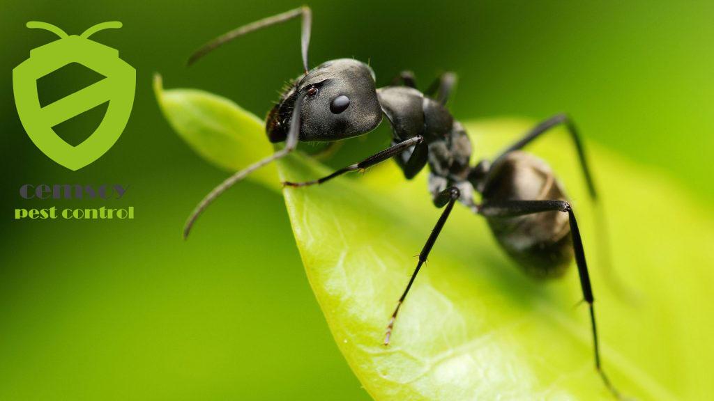 aydın ilaçlama karınca